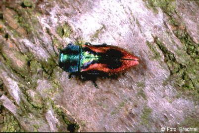 brauner käfer mit langen fühlern